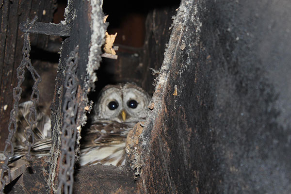 Hear chirping or flapping of wings in your chimney?
